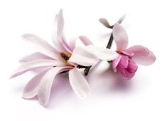 magnolia-228x170