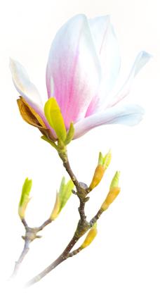 magnolias-228x342