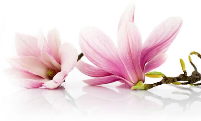 magnolias-650x392